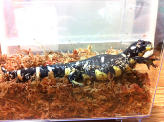 Ambystoma_californiense_001.jpg